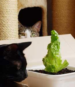 lettuce2.jpg