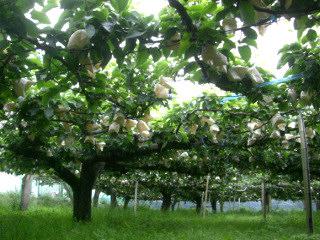 梨の袋かけ