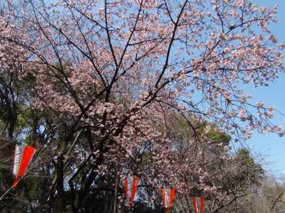 上野公園の早咲きのサクラ