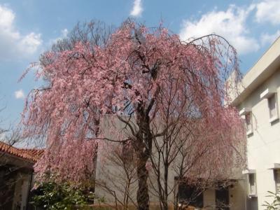 講談社野間記念館のしだれ桜①