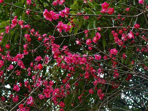 美しい色の紅梅