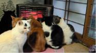 右から二匹目の猫の模様に注目