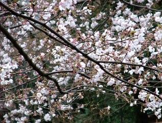 桜 2009 3.23
