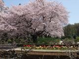 神代植物公園 4.9 桜とチューリップ