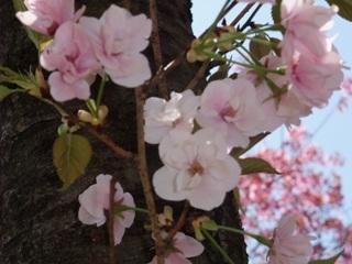 神代植物公園 4.9 笹部桜