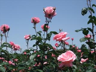 ピンクのバラと青空