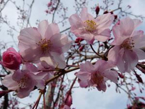 しだれ桜4/3