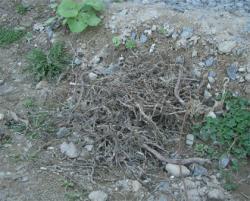 除去した根