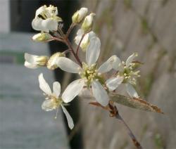 ジューンベリーも開花