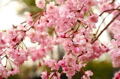 しだれ桜☆★