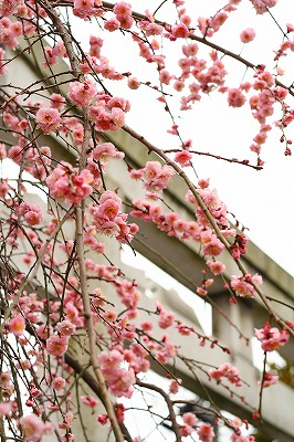 氷川神社の枝垂れ梅★