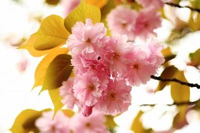 里桜2012☆