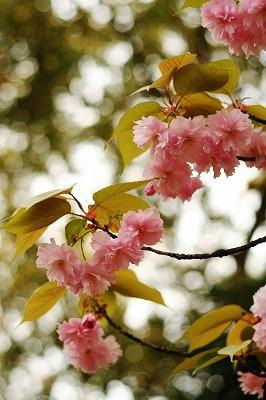里桜2012★