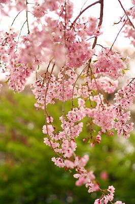 枝垂れ桜♪♪
