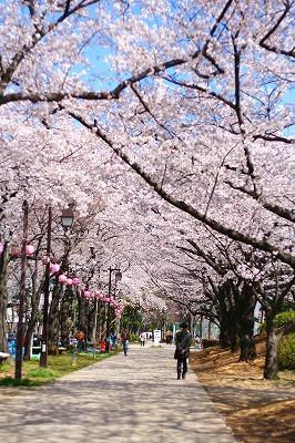 桜並木★2012