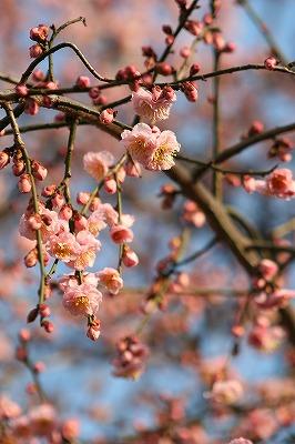 枝垂れ桜311