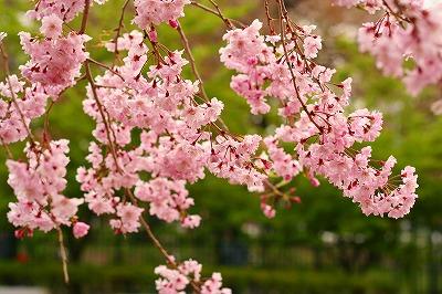 枝垂れ桜☆★