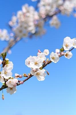 桜と青空♪