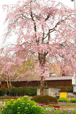 桜草圃場20120415