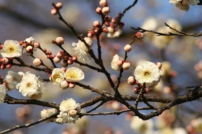 白梅咲いてた!