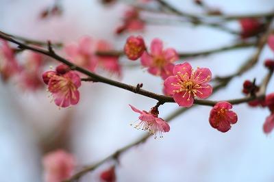 紅梅も咲いてた!