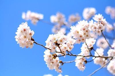 sakura満開