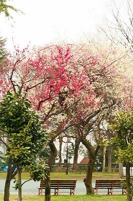 公園の梅が三色♪