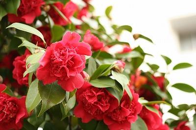 八重咲きの花?