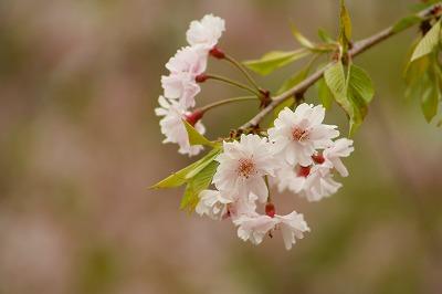 枝垂れ桜の残り・・・