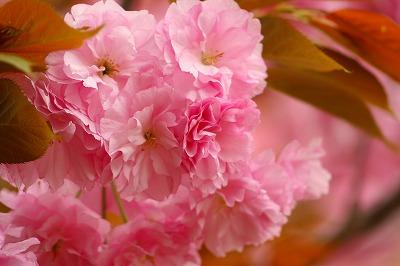 八重桜☆2012