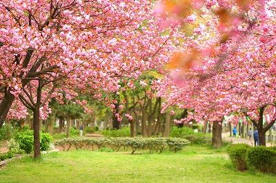 八重桜並木★