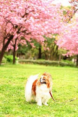 八重桜&ぱぴ☆