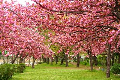 八重桜並木☆