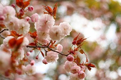 淡い色の八重桜