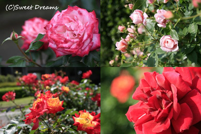 薔薇園にきました♪
