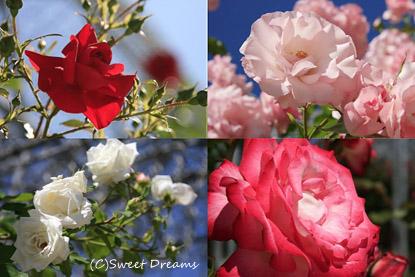 薔薇満開!!
