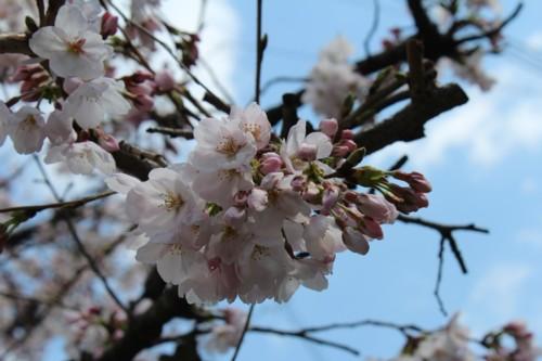 0404 桜2