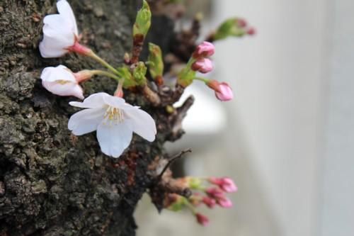 0404 桜1