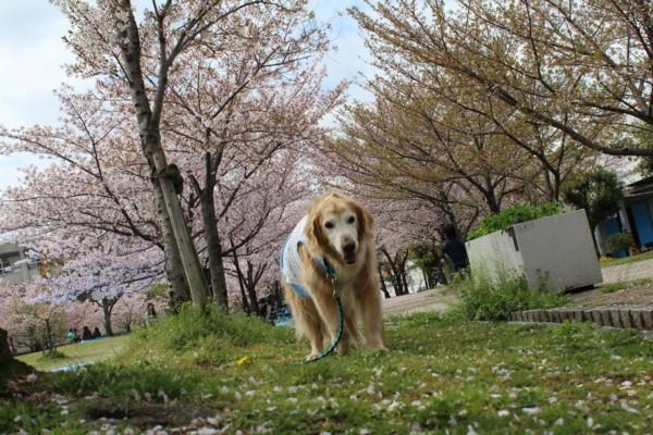 同窓会 桜