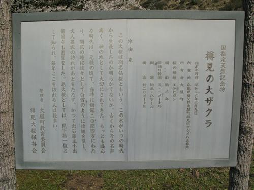 oosakura3.jpg