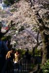 桜 元町公園 01
