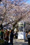 桜 元町公園 02