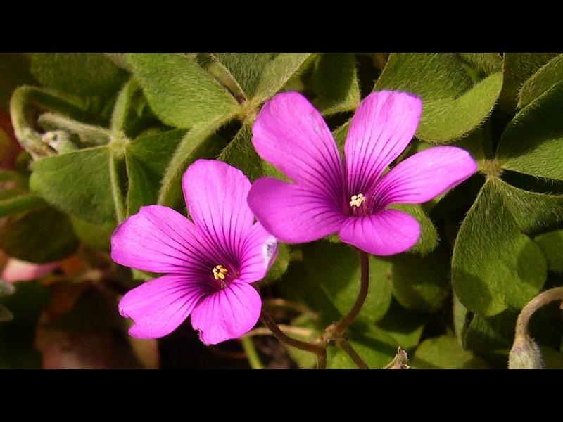 イモカタバミ 花