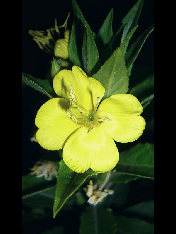 メマツヨイグサ 花