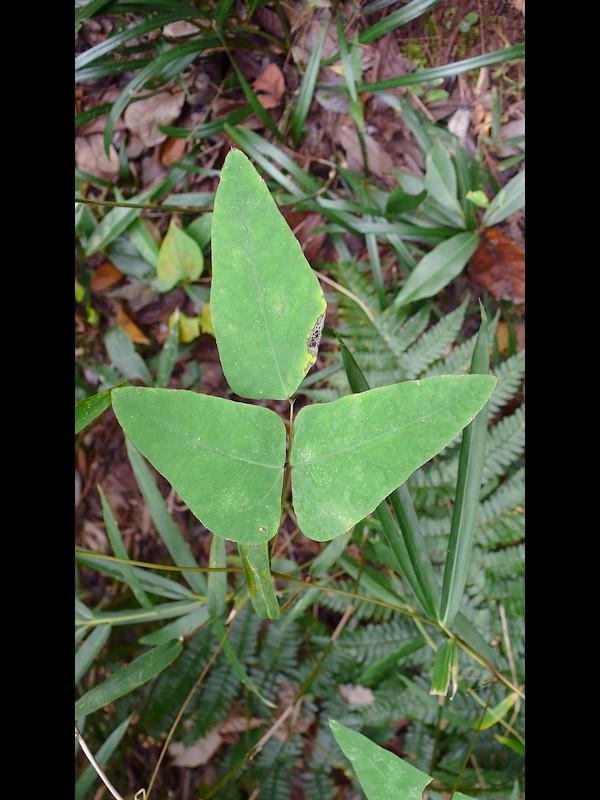 ノササゲ 葉