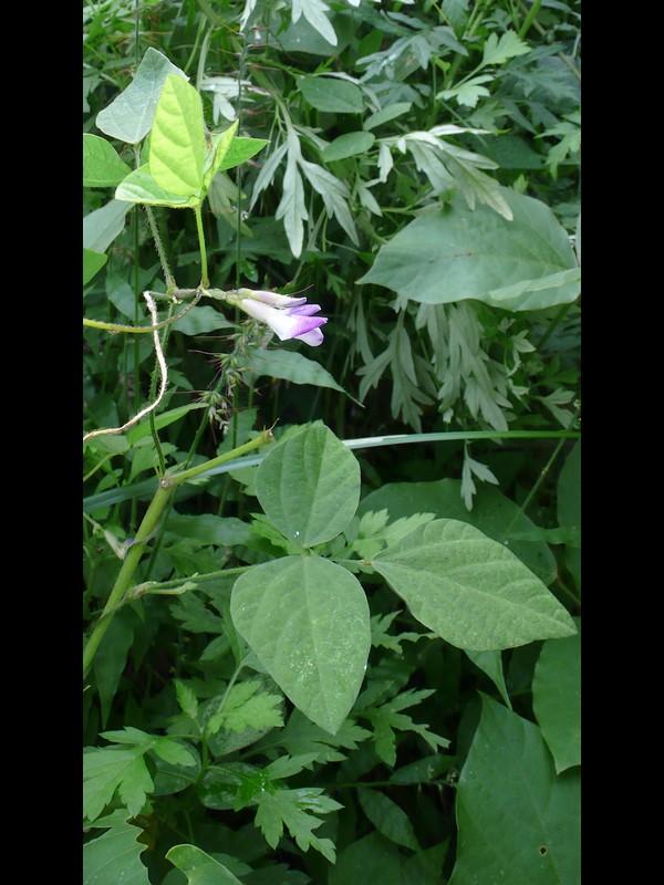 ヤブマメ 尖りが目立つシルエットの葉