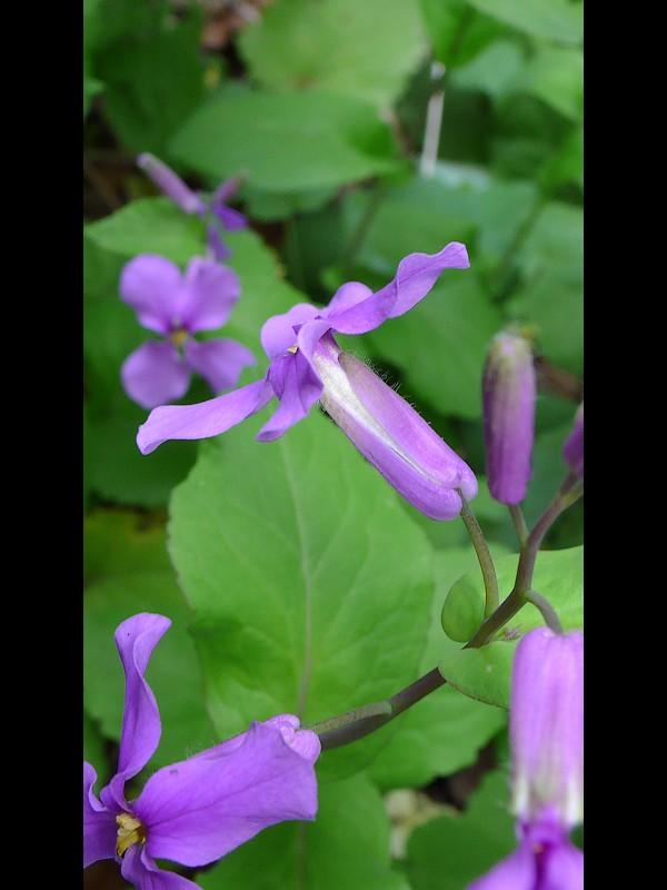 ショカツサイ 花の横・萼