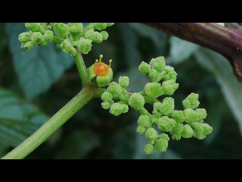 ヤブガラシ 花序