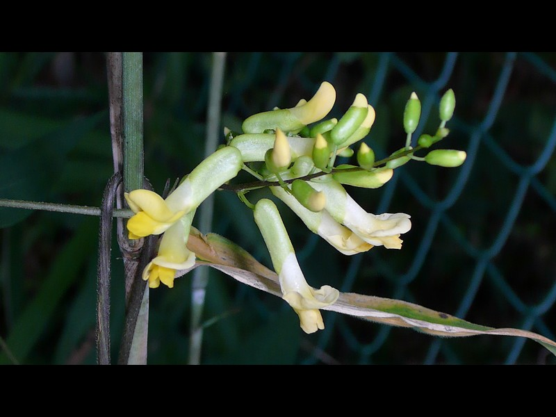ノササゲ 多花の花序