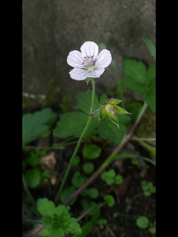 ゲンノショウコ 筋の染まる白系花